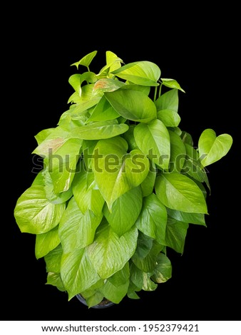 Top view of heart shaped green leaves vine ivy plant bush of devil's ivy or golden pothos (Epipremnum aureum) isolated on black background. Pothos is arguably one of the easiest houseplants to grow. Foto stock ©