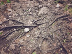 Top view of lots of old snaking roots of ancient tree on ground in mountain forest