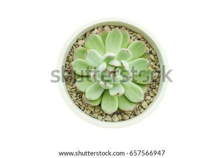Top View of Pastel Green with Red Tips Echeveria Succulent Flower Plant White Background