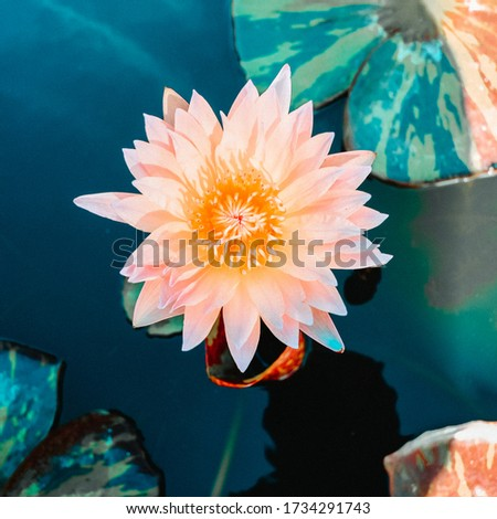 Top view of pink blooming lotus flowers and green lotus leaf on the lotus pond, soft focus