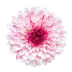 Top view of Pink Chrysanthemum flower isolated on white background.