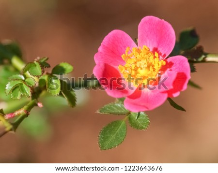 Top view of pink flower with yellow pollen and green leaves of Rosa bella or Rosa Mosqueta blossom blooming on the branch with nature blurred background.