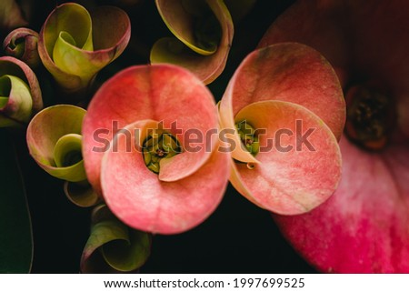 Top view of Pink Poi Sian flower,  Crown of Thorns, Euphorbia Milli in the garden. Photo stock ©