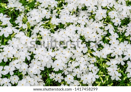 Top view of pure white creeping phlox (binomial name: Phlox subulata 'White Delight') blooming in abundance in a rock garden, for background or element with themes of spring, freshness, abundance