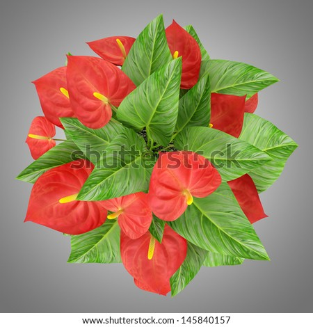 top view of red flower isolated on gray background
