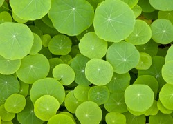 Top view of round green leaves