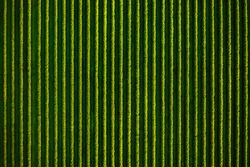 Top view of rows blackcurrant bushes, cultivated land. Aerial photography, drone shot. Agricultural area of Ukraine. Agrarian industry. Artistic wallpaper. Abstract natural pattern. Beauty of earth.