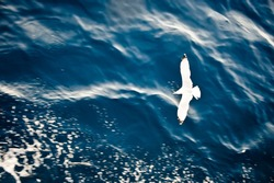 Top view of silhouette of flying seagull. Bird flies over the Sea. Flight of bird with Blue Sea. Seagull hovers over deep blue Sea. Gull hunting down fish. Free flight Gull over Boundless Expanse air