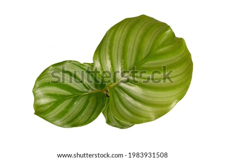 Top view of small exotic 'Goeppertia Orbifolia' houseplant with large round leaves with stripes isolated on white background Foto stock ©