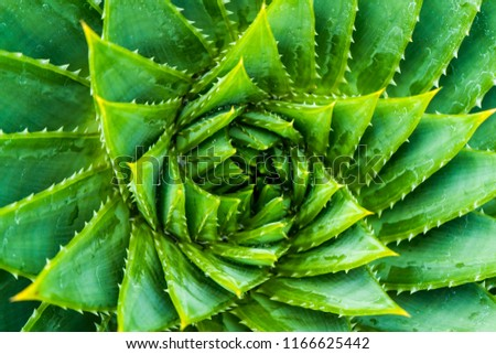 Stock Photo Top View of Spiral Aloe.Aloe polyphylla closeup wiew.