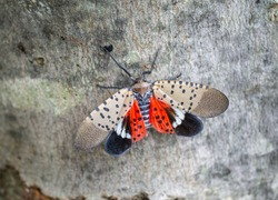 Top view of spotted lanternfly, Chester County, Pennsylvania