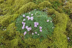 Top view of the blooming pink flowers in the middle of Iceland moss field. Saefellsnes peninsula in western Iceland.