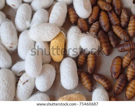 Top view of the cocoon silkworm for silk production