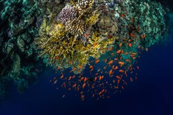 Top view of the coral reefs with tiny fish in the Ras Muhammad National Park. Egypt