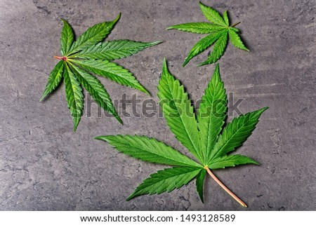 Top view of three wet green cannabis leaves full of little drops on dry grey background. #1493128589
