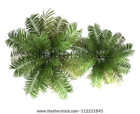 top view of two areca palm trees isolated on white background