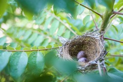 Top view of two bird eggs inside their nest on tree branch. bird nest with two eggs. Life just begin. Two bird eggs in nest on branches of tree.