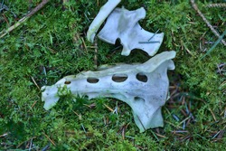Top view of unknown dead animal bone skeleton carcass remains lying on the ground with green moss in Cruagh Wood, Co. Dublin, Ireland. White bones of animal jaw