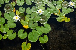 Top view of water lilies with white flowers in a pond in Japan