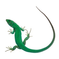 Top view of Western Green Lizard aka Lacerta bilineata. Isolated on white background.