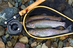 Top view of wild trout, inside of landing net, with fishing fly reel, pole and assorted flies on wet river bed stones