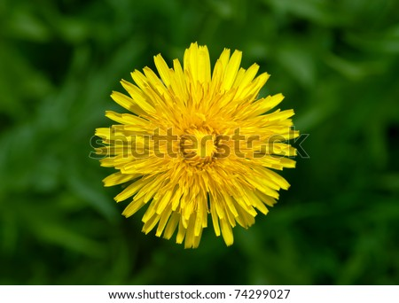 Top view of yellow dandelion flower