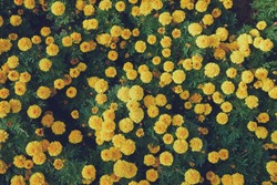 Top view of yellow french marigold flowers.