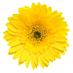 Top view of yellow Gerbera flower isolated on white background.
