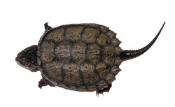 Top view of young Common snapping turtle, isolad on white background