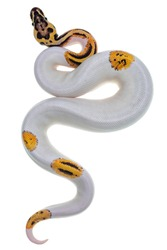 Top view of young Piebald Ball Python aka Python Regius snake. Very high on white with button like yelow with black spots or dots. Isolated on a white background.