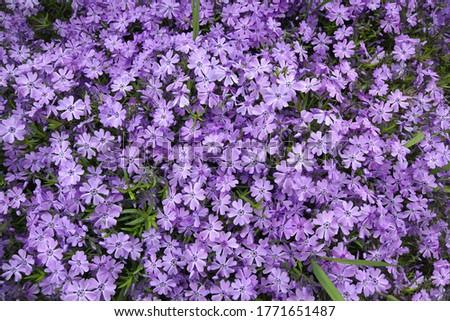 top view on a carpet of blooming phlox. Stock fotó ©