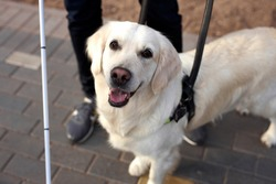 top view on beautiful golden retriever dog with disabled person, white guide dog looks at camera, kind dog