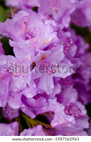 Top view on blooming pink rhododendron flowers on a rainy day. Selective focus, makro, close up. Stock foto ©