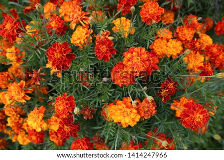 Top view on Marigolds, Tagetes erecta, Mexican marigold, Aztec marigold, African marigold, in the garden on a flower bed. #1414247966