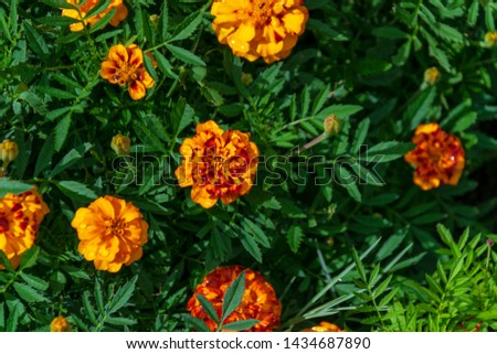 top view on orange marigolds flowers (tagetes erecta, mexican marigold, aztec marigold, african marigold) in the garden on a green flower bed #1434687890