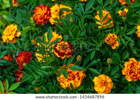 top view on orange marigolds flowers (tagetes erecta, mexican marigold, aztec marigold, african marigold) in the garden on a green flower bed #1434687896