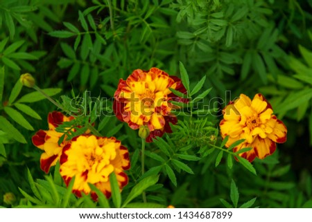 top view on orange marigolds flowers (tagetes erecta, mexican marigold, aztec marigold, african marigold) in the garden on a green flower bed #1434687899