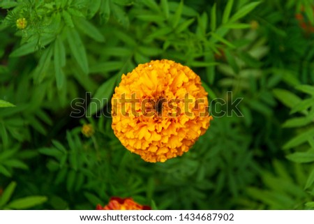 top view on orange marigolds flowers (tagetes erecta, mexican marigold, aztec marigold, african marigold) in the garden on a green flower bed #1434687902