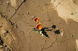 Top view on yellow orange isolated tulip flowers on cracked dried out soil - Germany