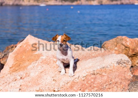 top view portrait of a beautiful cute small dog at the beach. Sitting on the rocks and looking at the camera. Sunset and summer. Holidays #1127570216