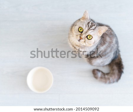 Top view Scottish hungry cat wants to eat, looking pitifully to camera kitten siting in kitchen floor waiting for owner to pour dry food to empty bowl. Selective soft focus, focus on background Stock photo ©