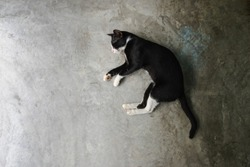 top view sleeping black cat with white marks on cement background,copy space