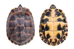 Top view small turtle both side isolated on white background