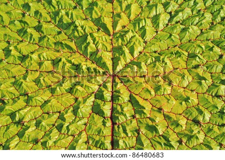 Top view surface of a Victoria Regia leaf, the world's largest leaves, of Amazonian water lilies