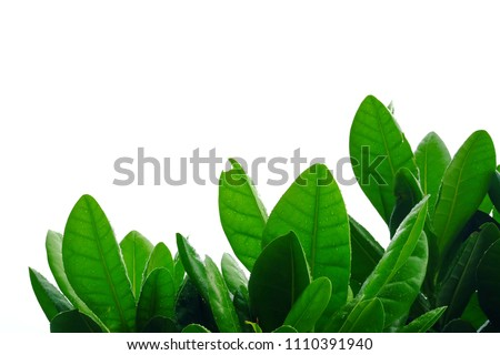 Top view tropical tree leaves growing in botanical garden on white isolated background for green foliage backdrop