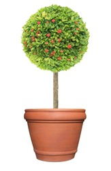 Topiary of red flower Ixora plant on the terracotta clay pot container isolated on white background for formal European style garden