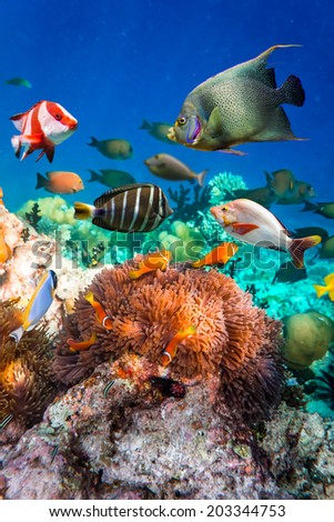 Stock Photo Topical saltwater fish ,clownfish - Coral reef in the Maldives, Anemonefish