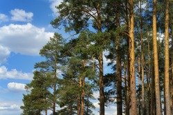 Tops of mighty pines against a blue sky with clouds. Pine forest on a sunny day. Evergreen old pines, large upper part. Russia, Middle Urals