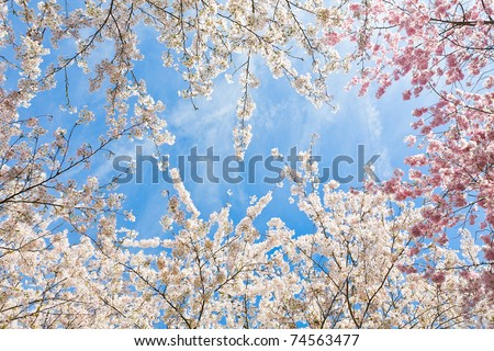 tops of the japanese cherry blossom trees in early april