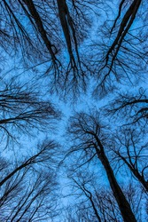 Tops of tree canopies without leaves. View from the bottom of the forest. The blue sky is painted through the bare branches of the trees. Forest in winter. Tall trees. Clear cloudless blue sky.
